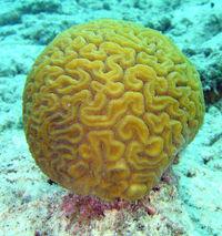"""Coral """"cerebro"""""""