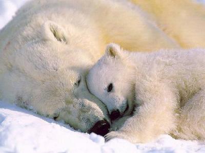 Oso polar en peligro de extinción.
