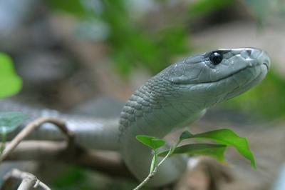Mamba negra la Serpiente más rapida y venenosa.