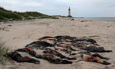 Un virus diezma las focas del Báltico