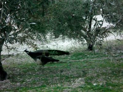 Un pavo real del campo
