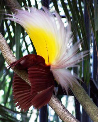 Los pájaros del paraiso.