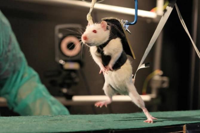 Ratas paralíticas vuelven a caminar.