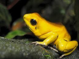 La rana dardo dorada